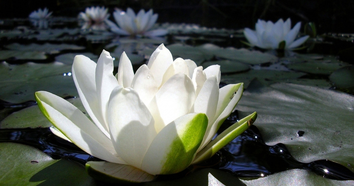 7027256-lotus-flower-wallpaper